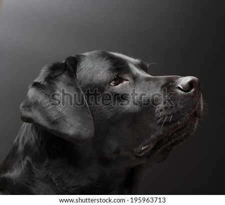 Black labrador on black background - stock photo