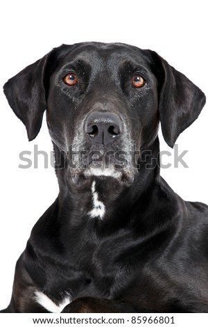 Black labrador portrait isolated on white background - stock photo