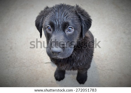 Black Labrador Puppy wet after his bath - stock photo