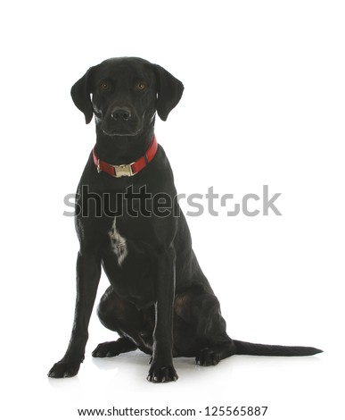 black labrador retriever cross sitting looking at viewer isolated on white background - stock photo