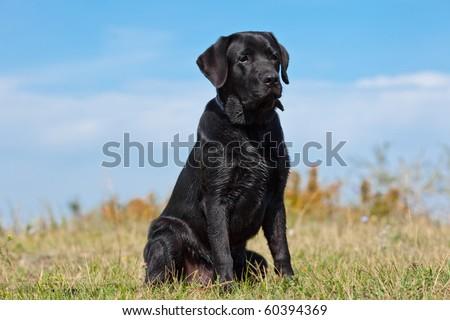 Black labrador retriever in green grass - stock photo