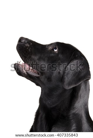 Black Labrador Retriever looking up in surprise (isolated on white) - stock photo