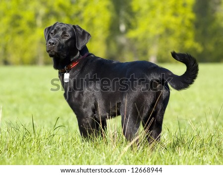 Black Labrador retriever portrait, standing position, summer field - stock photo