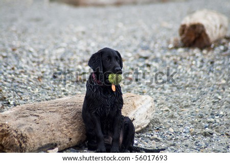 Black Labrador Retriever puppy sitting on a beach holding a tennis ball. - stock photo