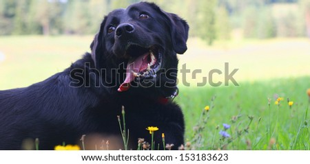 Black labrador retriever resting in the shadow on a sunny day in meadow - stock photo