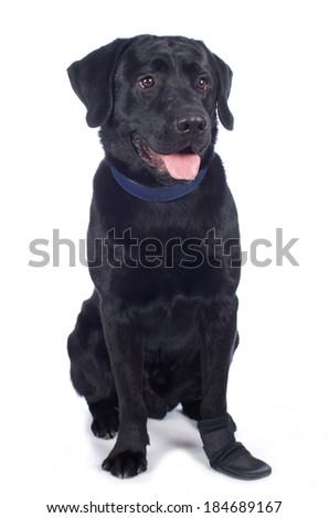 Black labrador retriever with booty - stock photo