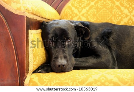 Black Labrador sitting on the couch - stock photo