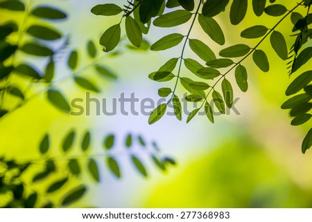 Black locust leafs - stock photo
