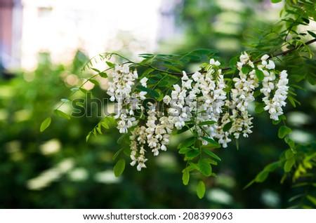 Black locust (Robinia pseudoacacia) - stock photo