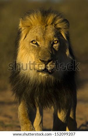 Black-maned Kalahari lion, Kgalagadi Transfrontier Park, South Africa - stock photo