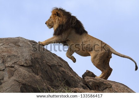 Black-maned lion climbing on top of a boulder with a blue-background sky - stock photo