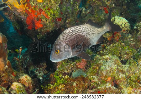 Black Margate (Anisotremus surinamensis) on a Coral Reef - Roatan, Honduras - stock photo