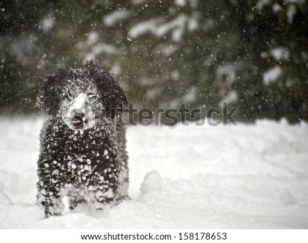 Black miniature poodle pup playing outside during a snowstorm, covered in snow,  a humorous image.  Selective focus on his face, and tongue. - stock photo