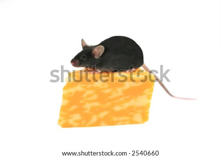 Black mouse on wedge of cheese - stock photo