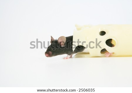 Black mouse with Swiss cheese - stock photo