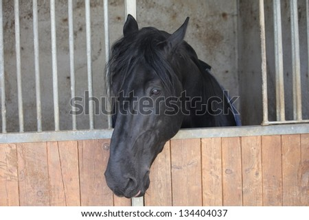 black muzzle of a horse that comes out with his head from the barn before the race at the Hippodrome - stock photo