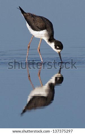Black-necked Stilt foraging against blue background. - stock photo