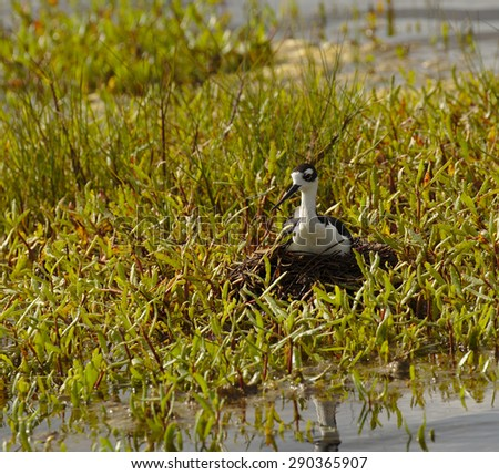 Black-necked stilt(Himantopus mexicanus) setting on a nest incubating it's eggs on a small island in a central Florida refuge wetland. - stock photo