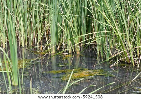 Black oily water among cattails on the Gulf Coast of the USA - stock photo