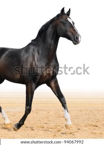 Black Oldenburge stallion trot on arena - stock photo
