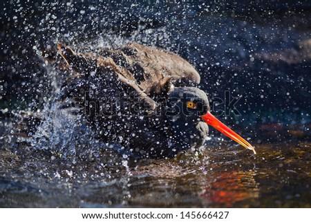 Black Oystercatcher (Haematopus bachmani) splashing at Oregon Coast Aquarium, Newport, Oregon. - stock photo