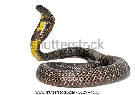 Black Pakistani Cobra on white background. - stock photo