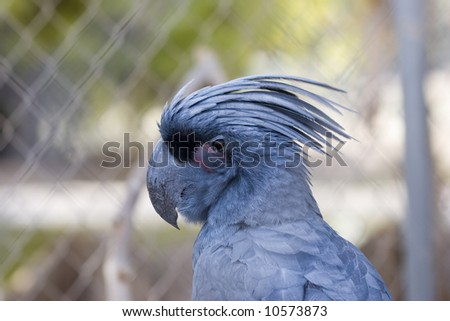 Black Palm Cockatoo In Cage; close up - stock photo