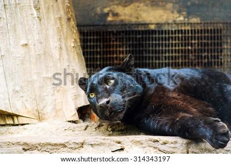 black panther - stock photo