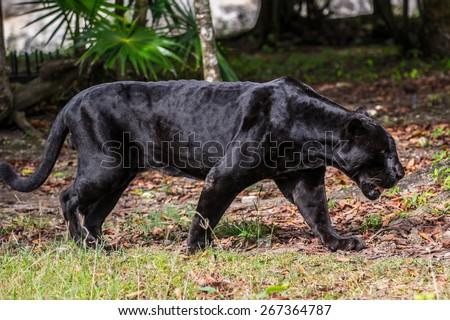 Black panther walks through the jungle - stock photo