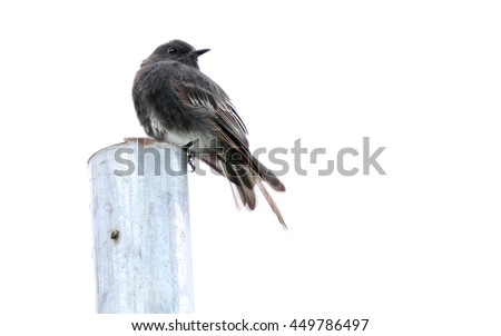 Black Phoebe bird perched on a post with a white background - stock photo