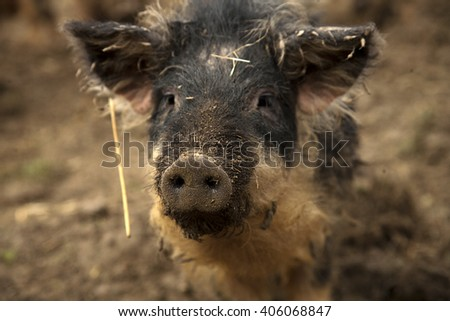 black pig - stock photo