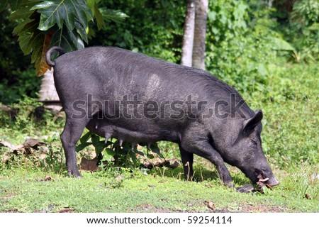 Black pig and trees on Savaii island, Samoa - stock photo