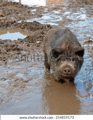 black pig in bog. Close up - stock photo