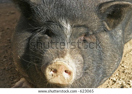 black pig's face - stock photo