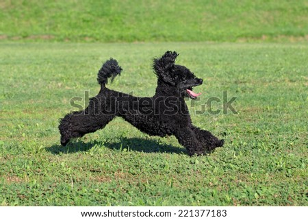 Black playful poodle dog running at meadow - stock photo