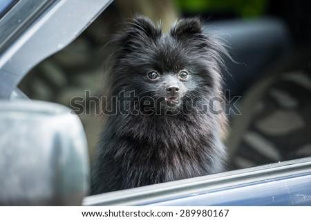 Black pomeranian spitz sitting in a car - stock photo