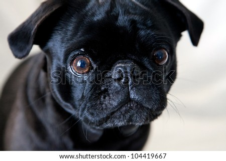 Black pug dog on white background - stock photo