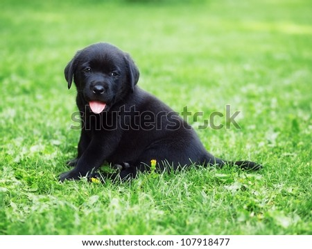 Black puppy - stock photo