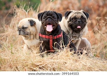 Black puppy pug dog sitting with fawn pug dog on dry grass with dry Leaves background. - stock photo