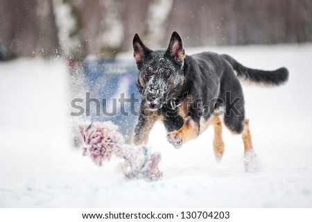 black purebred german shepherd running to catch a toy fust in winter - stock photo