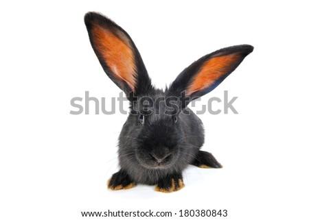 black rabbit on a white background - stock photo