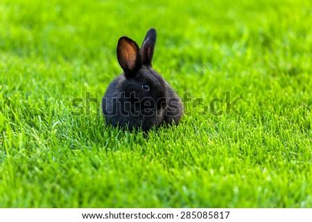 Black Rabbit, Rabbit on the lawn Rabbit on the green grass, a frightened rabbit, rabbit and child. - stock photo