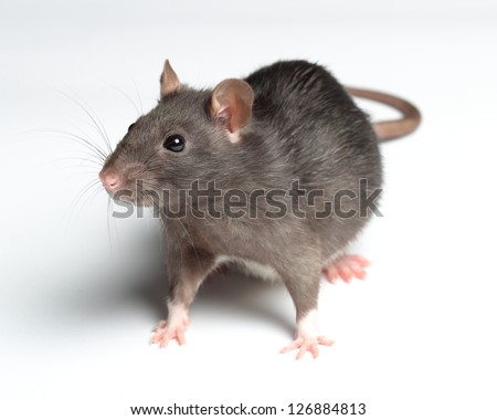 black rat isolated on white - stock photo