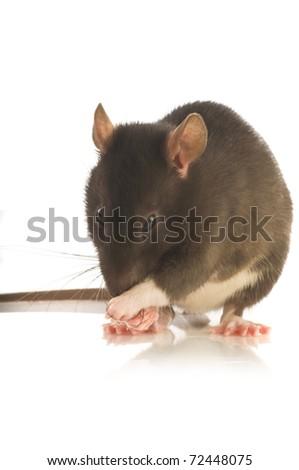 black rat isolated on white background - stock photo