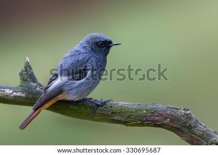 Black redstart - Phoenicurus ochruros - stock photo