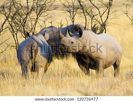 Black rhino Diceros bicorne - stock photo