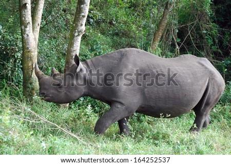 Black rhino eating 03 - stock photo