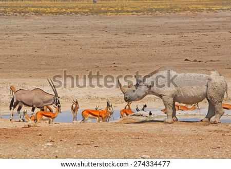 Black Rhino, Gemsbok Oryx and springbok next to a waterhole in Etosha national park - stock photo