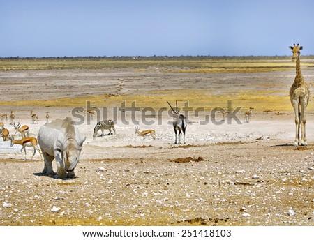 Black Rhino, Giraffe, Oryx zebra, and springbok next to a vibrant  waterhole in Etosha National park - stock photo