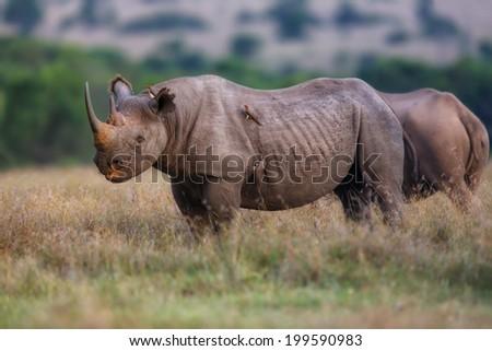Black Rhino in Ol Pejeta Conservancy, Kenya - stock photo